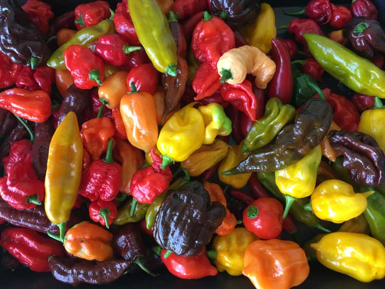 Chillies in winter